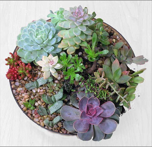 "Succulent Arrangement in 12"" Diameter Container"