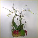 orchid basket arrangement for San Rafael client.