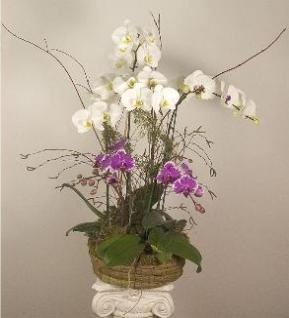 orchid basket with selected phalaenopsis colors