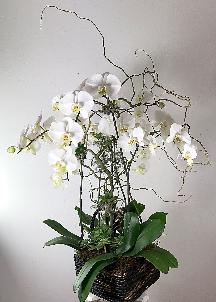 succulents on branches od phalaenopsis