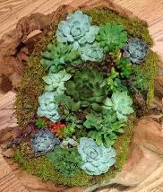 Top down view of succulents in driftwood container