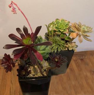 succulents arranged across two holders